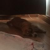 Fern (Beagle)