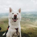 Kenzie (Siberian Husky)