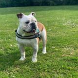 Ollie - English Bulldog