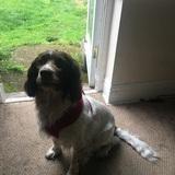 Oscar (English Springer Spaniel)