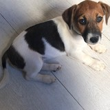 Yuma - Jack Russell Terrier