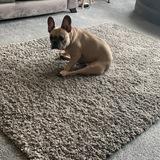 Reggie - French Bulldog