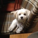 Bailey (Havaneser)