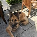 Milo (German Shepherd Dog)