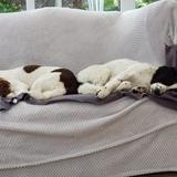 Bertie And Alfie (English Springer Spaniel)