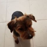 Lisa (Yorkshire Terrier)