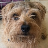 Monty (Norfolk Terrier)