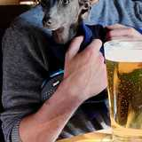 Peggy (Italian Greyhound)