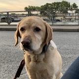 PAUL - Labrador Retriever