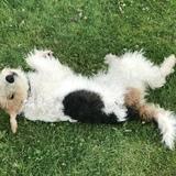 Julian (Fox Terrier)