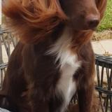 Ronnie (English Springer Spaniel)