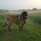 Max (Leonberger)