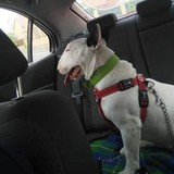 Maddy (Bull Terrier)