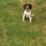 Alfie (English Springer Spaniel)