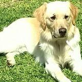 Duke (Golden Retriever)