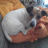 troy - Jack Russell Terrier