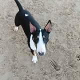 Chakra (Bull Terrier)
