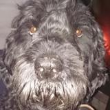 Django (Russische Schwarze Terrier )