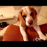 Golfo - Beagle