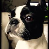 Matilda (Boston Terrier)