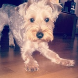Duque - Yorkshire Terrier
