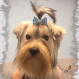Summer (Yorkshire Terrier)