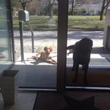 Peco (Bretonischer Vorstehhund)