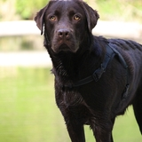 Onyx (Labrador Retriever)