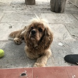 Joker (Cocker Spaniel Americano)