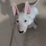 Lola - Bull Terrier