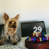 Lucca (Yorkshire Terrier)