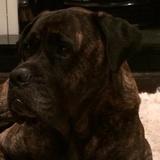 Bruno (Bullmastiff)