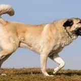 Sultan (Anatolischer Hirtenhund)