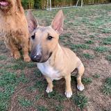 Ozzie (Bull Terrier Miniature)