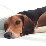 Rocho - Beagle