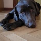 Kira - Labrador Retriever