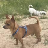 Tayson (Chihuahua)