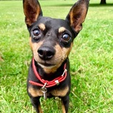 Monty (Miniature Pinscher)