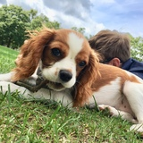Willow  (Cavalier King Charles Spaniel)