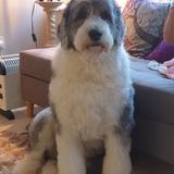 Madison  (Old English Sheepdog)