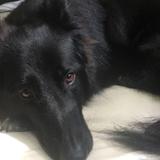 Ginger (German Shepherd Dog)