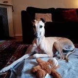 Marney (Greyhound)