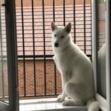 Floki (Siberian Husky)