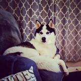 Zeus (Siberian Husky)
