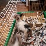 Milú (Fox Terrier De Pelo Duro)