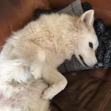 Murphy  (White Swiss Shepherd Dog)