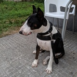 Tula (Bull Terrier)