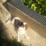Witty - Cavalier King Charles Spaniel