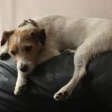 Alfie  (Jack Russell Terrier)