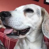 Princess  (Beagle)